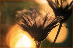 Bathing Hour (marionrosengarten) Tags: makro macro oldlense bonotar145105 botanischergarten botanical darmstadt withered bokeh bokehbubbles backlight sun sonne settingsun sunset lastlight sonnenuntergang botanik pflanze plant flora blossom flower altelinse vintageobjektiv feinmessdresden dreilinsig exaktabajonett adapter nikon autumn herbst vertrocknet bubbles bubblebokeh vintage gegenlicht sonnenbad bokehkringel