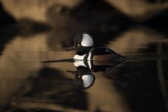 Quiet Reflections by Scott Suriano (Maryland DNR) Tags: hoodedmerganser drake ducks waterfowl birds 2018 photocontest fall autumn