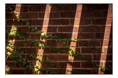 Shadows and Light (Terry L. Olsen) Tags: shadows climbingvines wall leaves