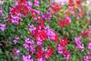 A Lot of Flowers (fs999) Tags: 100iso fs999 fschneider aficionados zinzins pentaxist pentaxian pentax k1 pentaxk1 fullframe justpentax flickrlovers ashotadayorso topqualityimage topqualityimageonly artcafe pentaxart corel paintshop paintshoppro 2018ultimate paintshoppro2018ultimate macrolife macro makro masterphotos fleur flower blume bloem tamronspafdi90mmf28macro tamron sp af di 90mm macrolens 11 f28