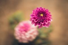 she`s floating above (HeiJoWa) Tags: alpha 6000 sony 7artisans bokeh flower blume dahlia dahlie nature beautiful color blurry unscharf schweben floating 55mm 14 primelens festbrennweite closeup makro macro beyondbokeh