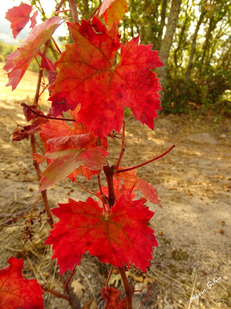 Águas Frias (Chaves) - ... folhas em tons outonais ...