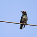 Electric starling