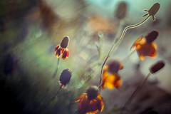 In Euclid's Dreams (Standard Deluxe) Tags: vintagelens manuallens m42 pentagon 50mm autumn flower plant bokeh