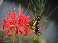 Swallowtail (Yorkey&Rin) Tags: 2018 autumn butterfly em5markii japan kanagawa koideriver olympus olympusm14150mmf4056ii p9220215 rin september spiderlily swallowtail アゲハチョウ 九月 秋 小出川 神奈川県 彼岸花