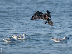Zeeland-1688 (clickraa) Tags: domburg beach guard kormoran cormorant zeeland walcheren aalscholver strandwachter