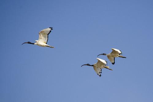 ibis sagrado