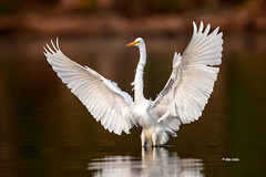 White Egret (Mike Veltri) Tags: whiteegret birds avian landing dawn 600mm nature birdphotography ontario canada