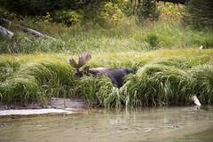 Male moose (Dani_de_luis) Tags: usa estadosunidos unitedstates grandteton tetons nps nationalparks wildlife fauna viajes vacaciones