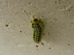 Chenille de la Zygène transalpine (Zygaena transalpina) (Didier Auberget Photographie) Tags: macro insecte insecta arthropoda arthropode lepidoptera lépidoptère zygaenoidea zygaeninae zygaena zygène zygaenidae zygaenatransalpina zygènetransalpine papillon moth papillondenuit papillonnocturne butterfly larve larva chenille caterpillar canonpowershotsx270hs