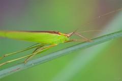 セスジツユムシ Ducetia japonica (takapata) Tags: sony sel90m28g ilce7m2 macro nature insect grasshopper