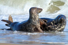 Time out! (Mrs Airwolfhound) Tags: seals horsey gap beach sea mammals norfolk canon 70d sand cute funny animals