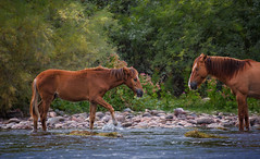 Mother and Child Reunion (Kathy Macpherson Baca) Tags: animal horse mustangs wild earth saltriver wildlife herbivore survive planet arizona desert world foal
