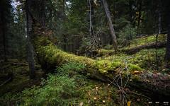 Urskog-3861 (jarud) Tags: 2018 norge norway notodden urskog