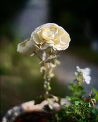 Fleur d'automne (MoonCCat) Tags: 4x5 graflex naturallight lumièrenaturelle automne autumn fleur kodak autochrome flower 178mm aeroektar speedgraphic
