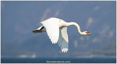 Cygne tuberculé (fauneetnature) Tags: cygne cygnetuberculé swan ornithologie ornithology oiseau bird faune nature naturephotography photonature photoanimalière lacdubourget oiseauenvol