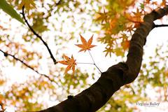 Japanese Maple (Virginia Bailey Photography) Tags: garden japanesemaple myyard pacificnorthwest maple tree autumn leaves branches nature washington wa usa america