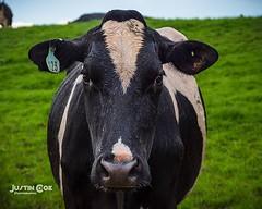 Beautiful dairy cow soaking wet. #cows #farming #devon #dairy #cow #exeter #agriculture #calf #farm #johndeere #tractor #maketheconnection #farmlife #milk #farmer #fendt #newholland #caseih #cattle #masseyferguson #traktor #landwirtschaft #harvest #trekke (justin.photo.coe) Tags: ifttt instagram beautiful dairy cow soaking wet cows farming devon exeter agriculture calf farm johndeere tractor maketheconnection farmlife milk farmer fendt newholland caseih cattle masseyferguson traktor landwirtschaft harvest trekker claas farmanimals justinphotocoe