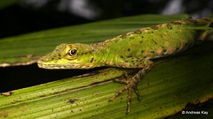 Anolis gemmosus (Ecuador Megadiverso) Tags: andreaskay anolisgemmosus birdwatcherslodge dactyloagemmosus dactyloidae ecuador lizard mindo reptile