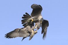 IMG_0565-4 (superbradphotos) Tags: superbrad superbradphotos ianbradley derbyshire belpereastmill belperrivergardens belperperegrines peregrin falcon eyass tiercel peregrinejuvenile raptors falcons birdsofprey foodpass