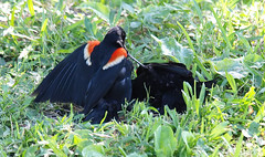 Red-winged Blackbird Death Match 27 (Kaptured by Kala) Tags: agelaiusphoeniceus redwingedblackbird blackbird maleredwingedblackbird whiterocklake dallastexas sunsetbay loud noisy closeup battle fighting territorial aggressive