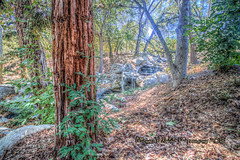 Redwood Tree Trunk (Michael F. Nyiri) Tags: lacañadaflintridge descansogardens redwoodtree nature botanicalgardens southerncalifornia california