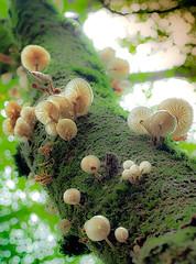 oudemansiella mucida (juan luis olaeta) Tags: paisajes landscape forrest basoa pagoa bosque tree fungi mushroom myco oudemansiellamucida fujifilmxt2 fujifilm photoshop lightroom
