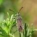 Loxocnemis dentator (Coreidae) (Simon in the Alpujarras) Tags: