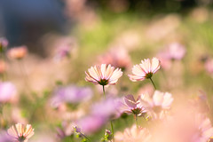 smile (hitohira_) Tags: flower flowers nature bokeh cosmos