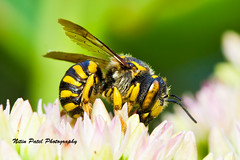 IMG_7803 (nitinpatel2) Tags: bee macro nature nitinpatel