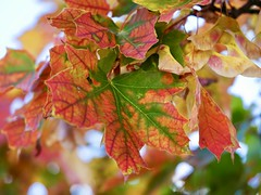 Autumn (docwiththecamera) Tags: leaf tree sky bokeh autumn colors green red