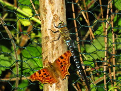Comma and Autumn Hawker (sam2cents) Tags: butterfly comma polygoniacalbum aeshnamixta autumnhawker migranthawker dragonfly odonata nature wildlife wicklow ireland odd weird strange funny