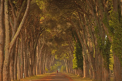 Il tunnel di pini / The pine tree tunnel (Pisa, Tuscany, Italy) (AndreaPucci) Tags: sarrossore pisa tuscany italy park royal andreapucci tunnel pine tree