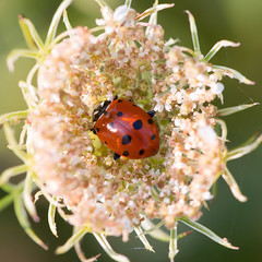 Parked Beetle (arlene sopranzetti) Tags: ladybird liberty farm sandyston sussex county nj queen anne lace bed time red