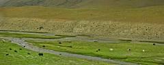 Their own space !! (Lopamudra !) Tags: lopamudra landscape lopamudrabarman lopa ladakh jk india pasture yaks yak cattle cow animal green verdant field river stream tsomoriri lake beauty beautiful himalaya himalayas highaltitude highland