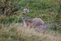 Alpine marmots (kisleon) Tags: alpinemarmots marmots alpine allgäu alps alpen murmeltier mrmot mormota marmota marmotamarmota