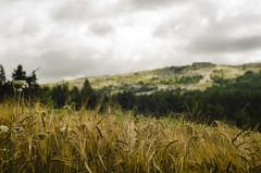 In the depth of field (Lolo_) Tags: 50mm blés épis champ profondeur dof depth dévoluy joueduloup rando