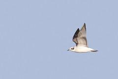 Mediterranean Gull (Alex Perry Wildlife Photography) Tags: reculver kent gull mediterraneangull laridae ichthyaetusmelanocephalus ichthyaetus