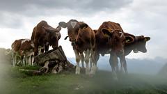 Calves (Guy Goetzinger) Tags: calf calves goetzinger d850 nikon animal young kalb tier sigriswil berner oberland wiese nature