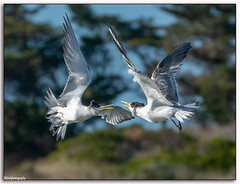 Face off.... (Mykel46) Tags: bif birds nature flight funny outside outdoors outdoor tern sony a9 100400mm 14xtele