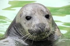 Bathtime (Kevin Pendragon) Tags: grey seal mammal water sornwall outdoors cornwallsealsanctuary brown black autumn naturephotography nature