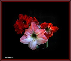 011 (ruslou (More off than on)) Tags: amaryllis flower ruslou nature pretoria southafrica