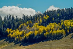The aspen were brilliant and spectacular at Grand Canyon North Rim (eikonologos.images) Tags: northrim grandcanyon colours fall aspen