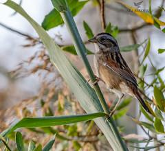 Swamp Sparrow - Melospiza georgiana (AnthonyVanSchoor) Tags: anthonyvanschoor maryland usa swamp sparrow melospiza georgiana blackwaternwr cambridgedorchesterco md