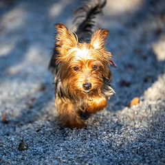 Yoko13Oct2018100.jpg (fredstrobel) Tags: dogs pawsatanta atlanta usa animals ga pets places pawsdogs decatur georgia unitedstates us