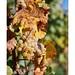 Grappe de raisin du vignoble alsacien