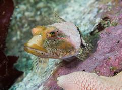 PA140015.jpg (alwayslaurenj) Tags: bluefishcove corallinesculpin montereycarmel pointlobos
