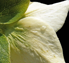 Back of Cream Hellebore Flower (Cornishcarolin. Stupid busy!! xx) Tags: cornwall httpswwwnationaltrustorguktrelissick nature flowers hellebore