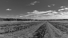 Orleans Island (Agirard) Tags: country field bw nb blackwhite noirblanc trees fall quebec canada sony a7ii zeiss batis batis18 18mm 218mm landscape