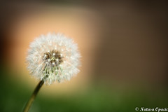 Between What Is Said And Not Meant, And What Is Meant And Not Said, Most Of Love Is Lost (_Natasa_) Tags: macro grass dandelion closeup depthoffield dof canon canoneos7d canonef100mmf28lmacroisusm natasaopacic natasaopacicphotography nature art fragile autumn flower